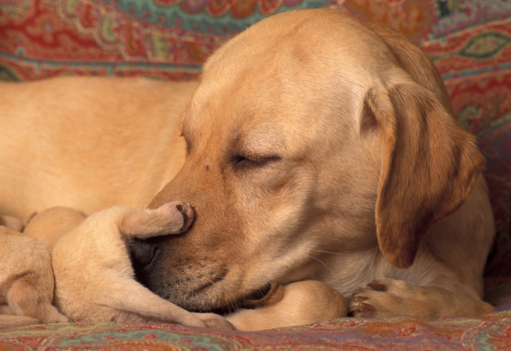 Stock Photo: 4070-4637 Domestic dogs, Labrador Retriever nudging one of her pups.