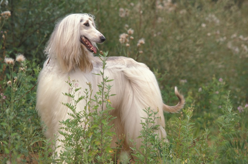 Stock Photo: 4070-4666 Domestic dog, Afghan Hound looking back.