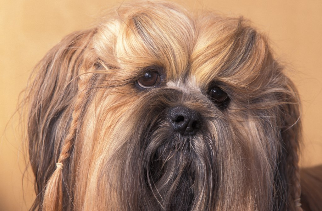 Domestic dog - Lhasa Apso face portrait with hair plaited. : Stock Photo