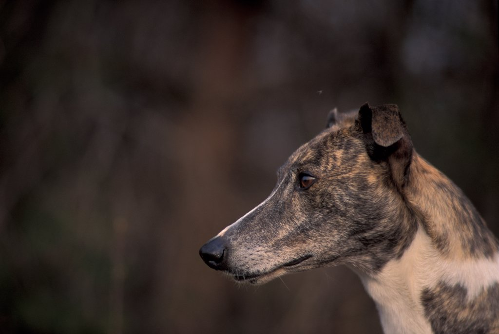 Stock Photo: 4070-4908 Domestic dog, brinlded Magyar Ag r / Hungarian Greyhound face profile