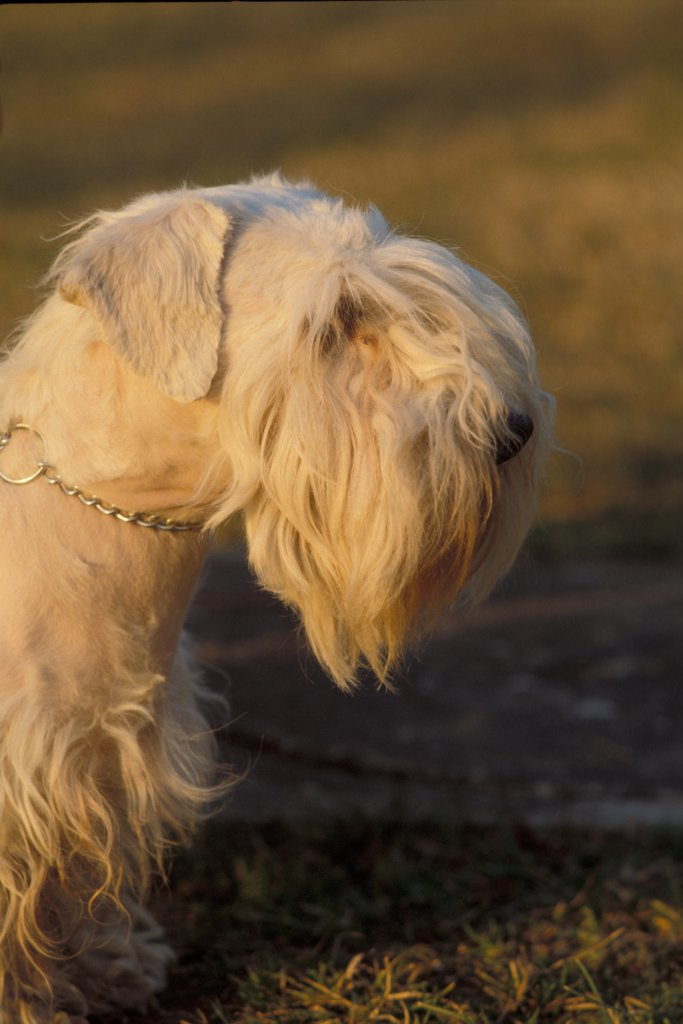 Stock Photo: 4070-5277 Domestic dog, Sealyham Terrier portrait