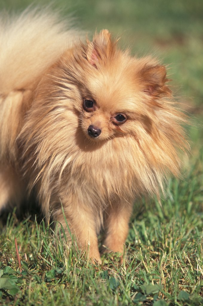 Domestic dog, German Spitz (Klein) portrait with head cocked to one side. : Stock Photo