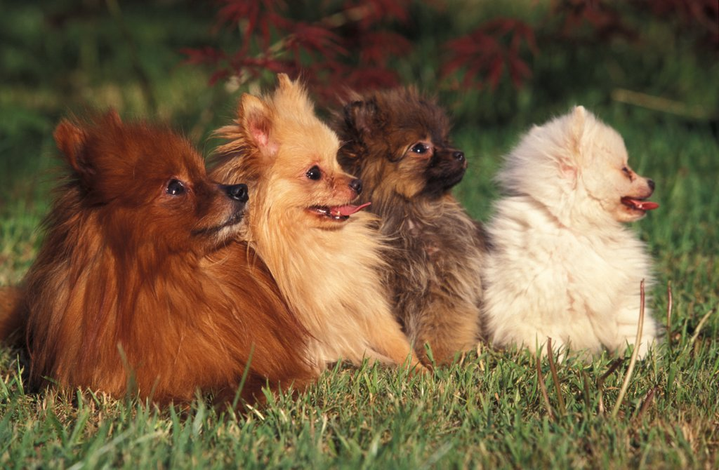 Domestic dogs, German Spitz (Klein) with puppies of various colours. : Stock Photo