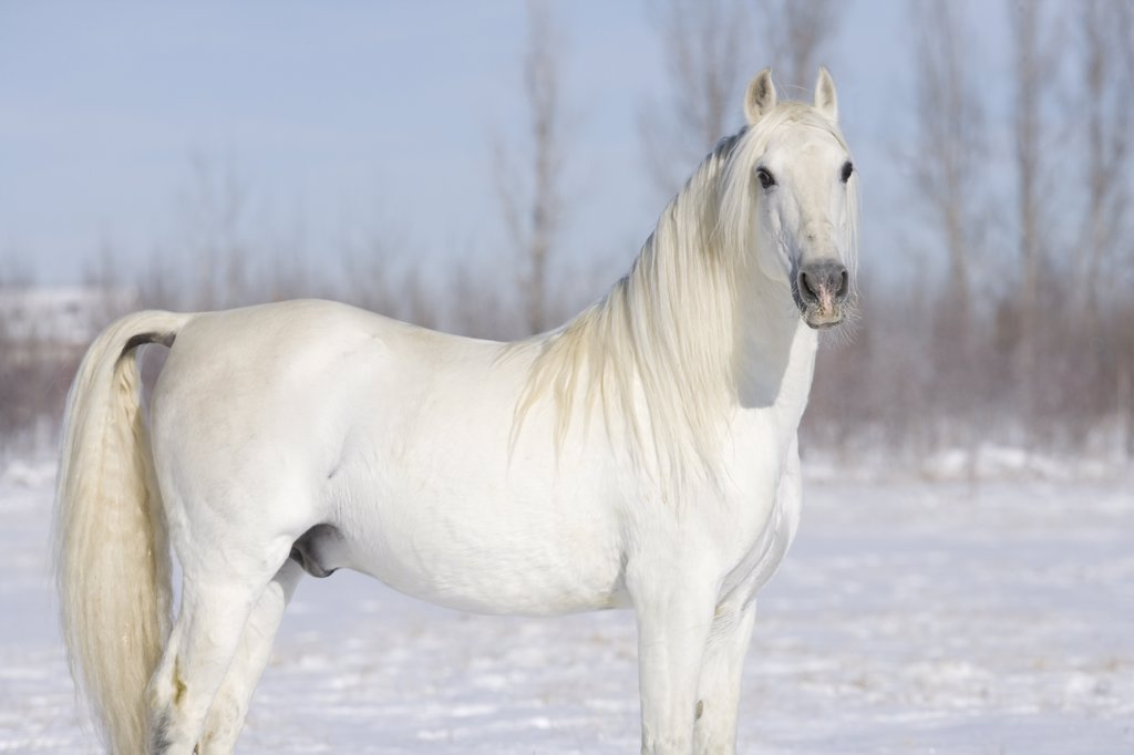 Stock Photo: 4070-5779 Grey Andalusian stallion, Longmont, Colorado, USA.