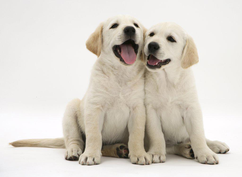 Two Yellow Goldidor Retriever Golden Retriever X Labrador Puppies