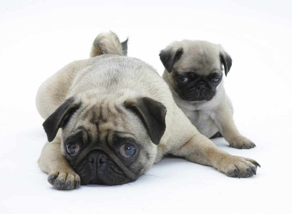 Stock Photo: 4070-5942 Fawn Pug bitch lying down with chin on floor next to a pup.