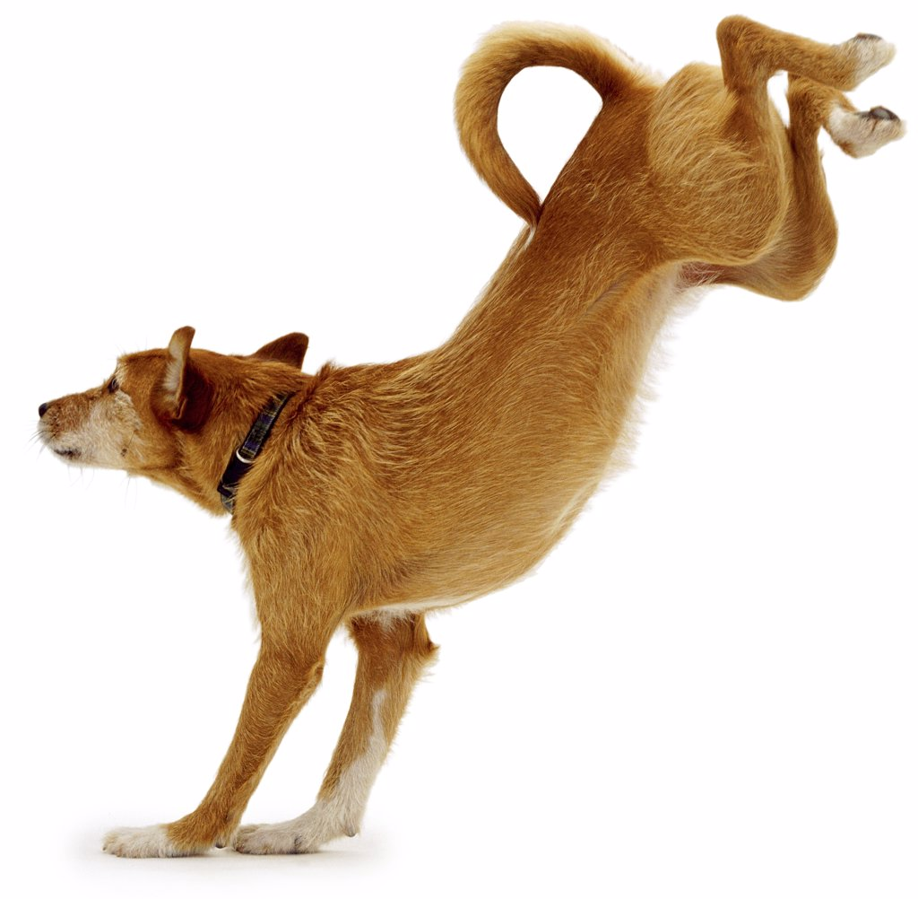 Stock Photo: 4070-6043 Lakeland Terrier x Border Collie landing after jumping over a frame, sequence 4/4