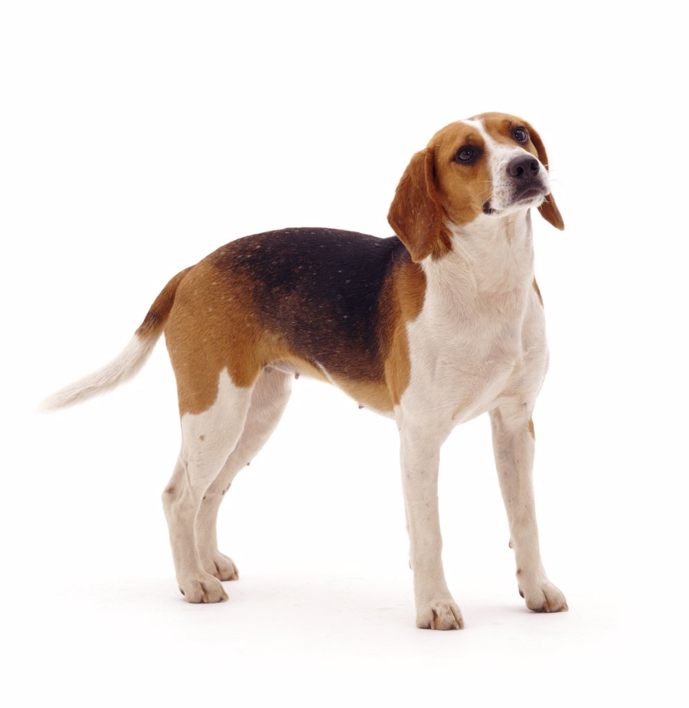 Beagle bitch, 18 months old, standing. : Stock Photo