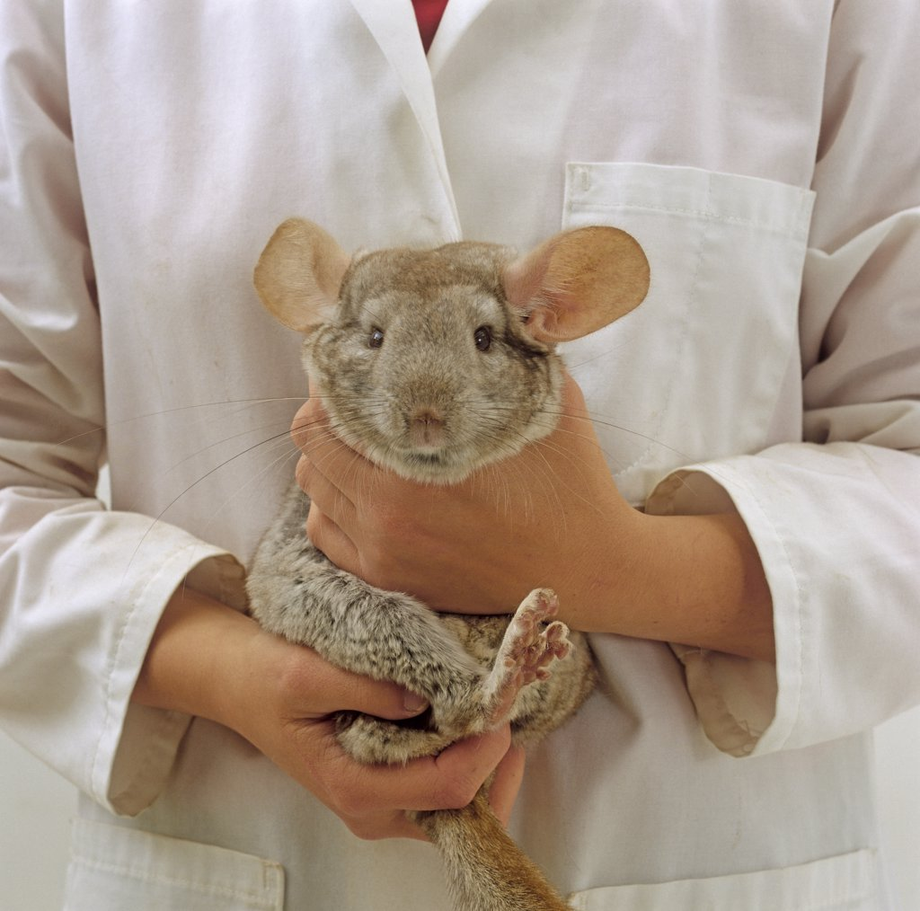 Stock Photo: 4070-6263 Vet securely holding a female fawn Chinchilla (Chinchilla lanigera)