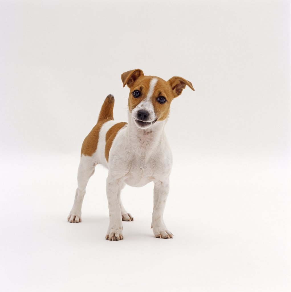 Miniature Jack Russell Terrier bitch pup, 20 weeks old : Stock Photo