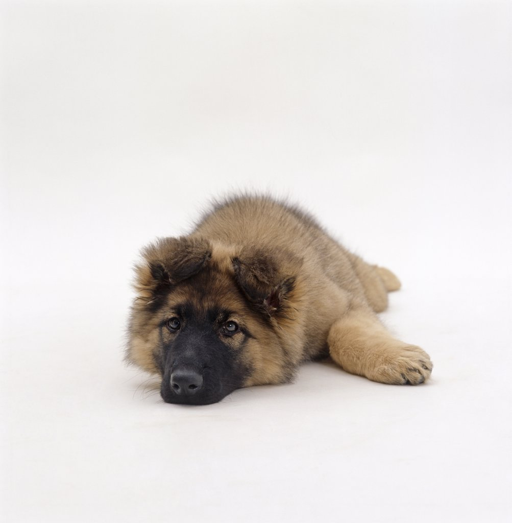 Stock Photo: 4070-6458 German Shepherd dog / Alsatian puppy, lying down with chin on floor, 12 weeks old