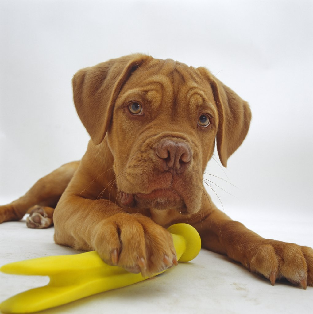 Stock Photo: 4070-6475 Dogue de Bordeaux dog pup, 15 weeks old, lying down with paw on toy.