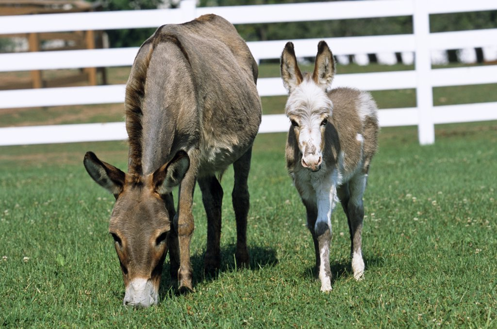Domestic donkey (Equus asinus) mother and foal in field, USA.  : Stock Photo