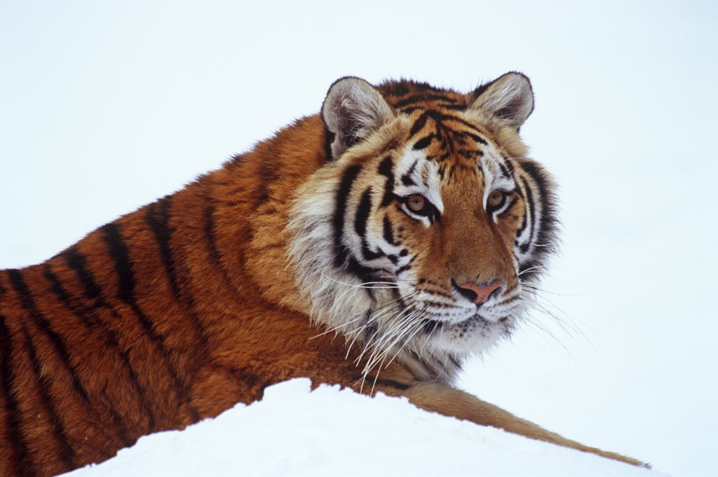 Siberian tiger (Pathera tigris altaica) in snow, close-up of head and shoulders. Captive : Stock Photo