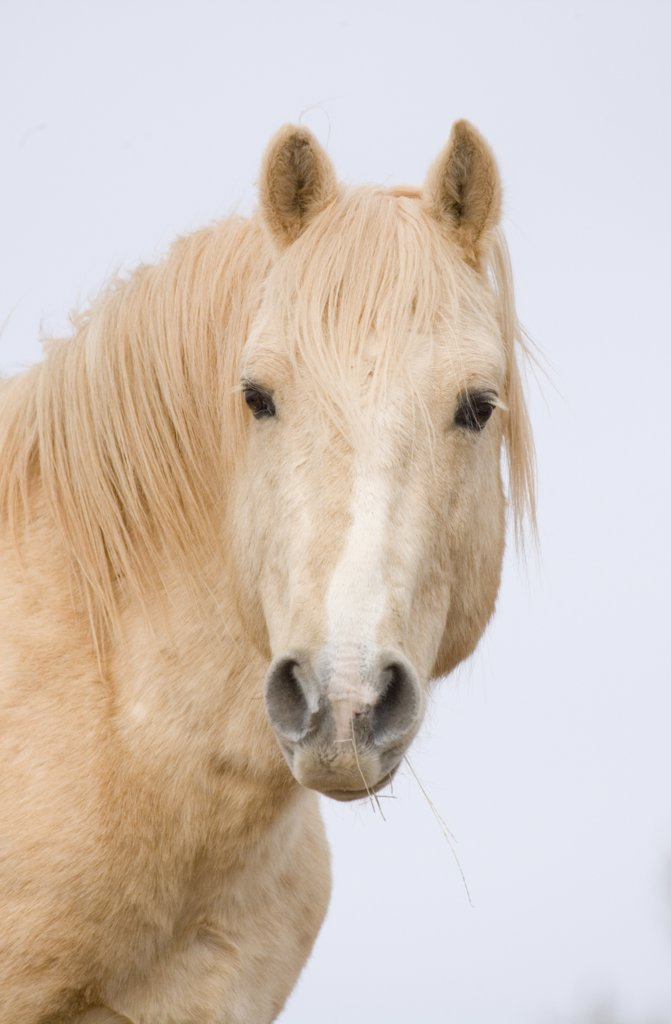 Stock Photo: 4070-6825 Mustang (Equus caballus), portrait of red palomino stallion called Cloud. Pryor Mountains, Montana.