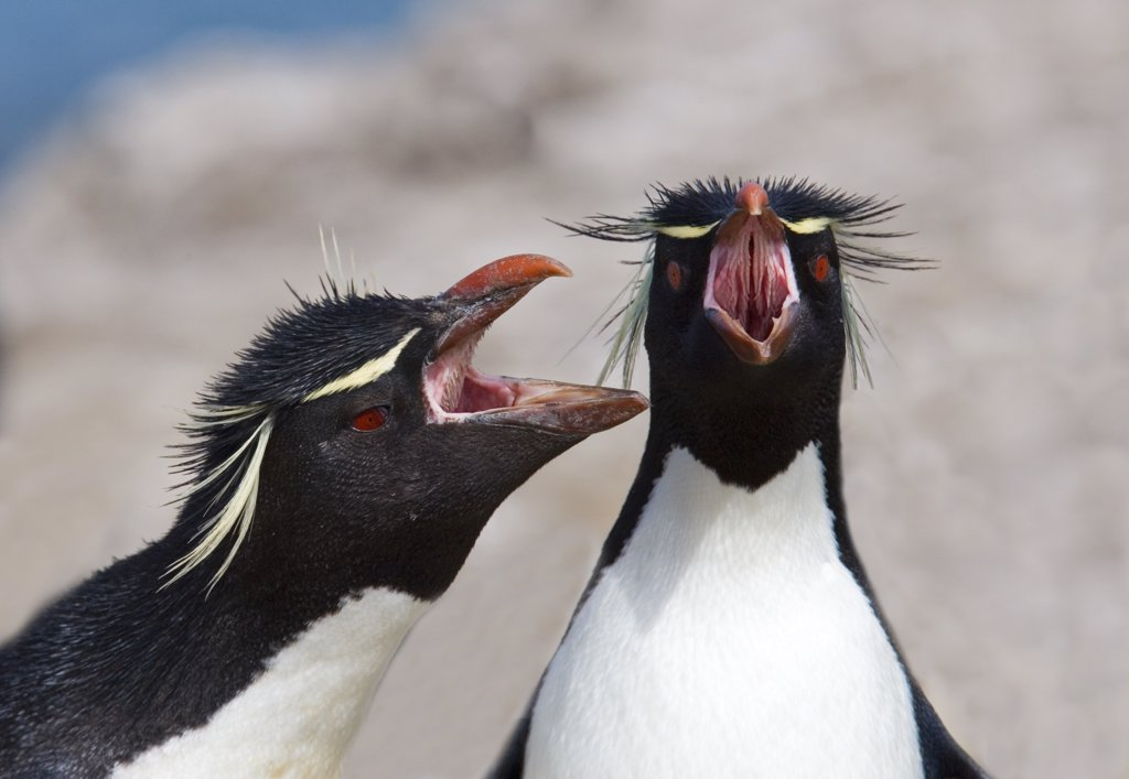 Stock Photo: 4070-6829 Adult Rockhopper penguins (Eudyptes chrysocome / crestatus), adults with open beaks. Falkland Islands.