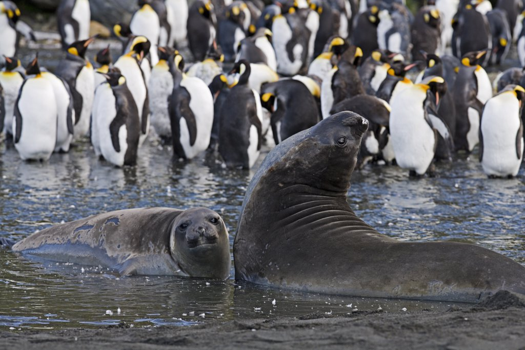 Elephant Seals (Mirounga genus) in the water in front of a group of King Penguins (Aptenodytes patagonicus). Gold Beach, South Georgia Island, Sub Antarctica. : Stock Photo