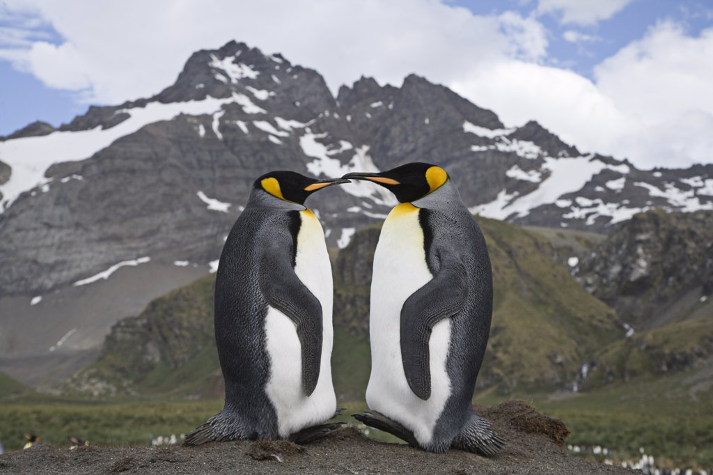 Stock Photo: 4070-6846 Pair of King Penguins (Aptenodytes patagonicus) on Gold Beach, South Georgia Island, Sub Antarctica.