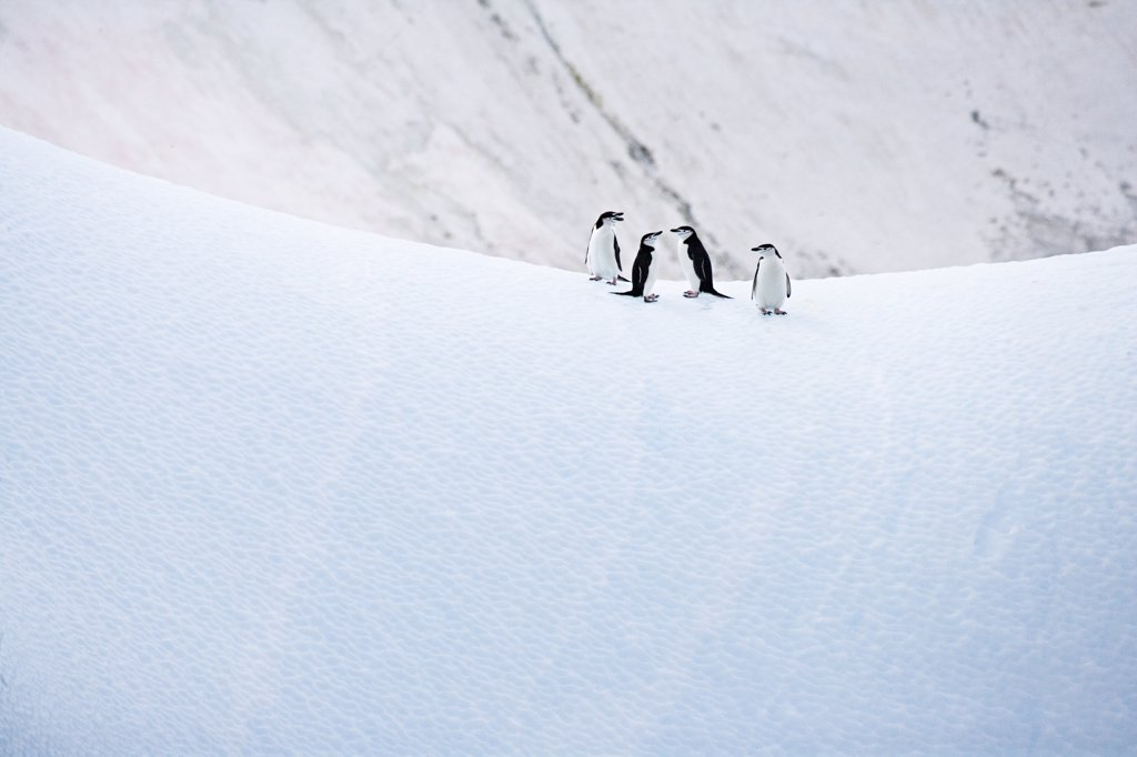 Chinstrap Penguins (Pygoscelis antarctica) on ice, Antarctica. : Stock Photo