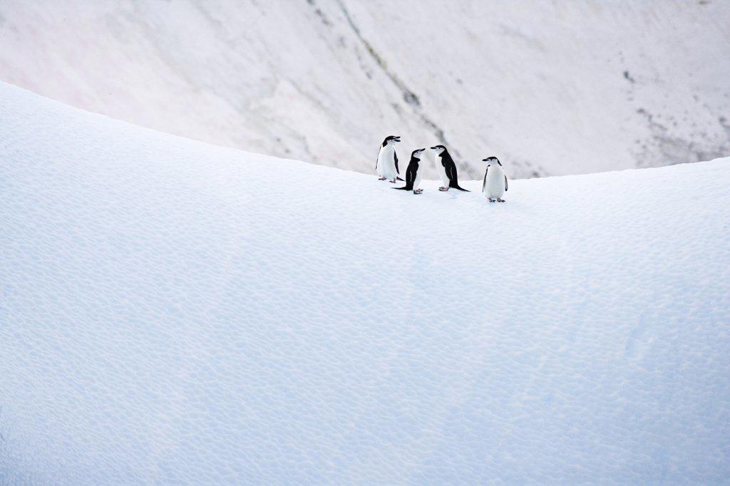 Stock Photo: 4070-6861 Chinstrap Penguins (Pygoscelis antarctica) on ice, Antarctica.