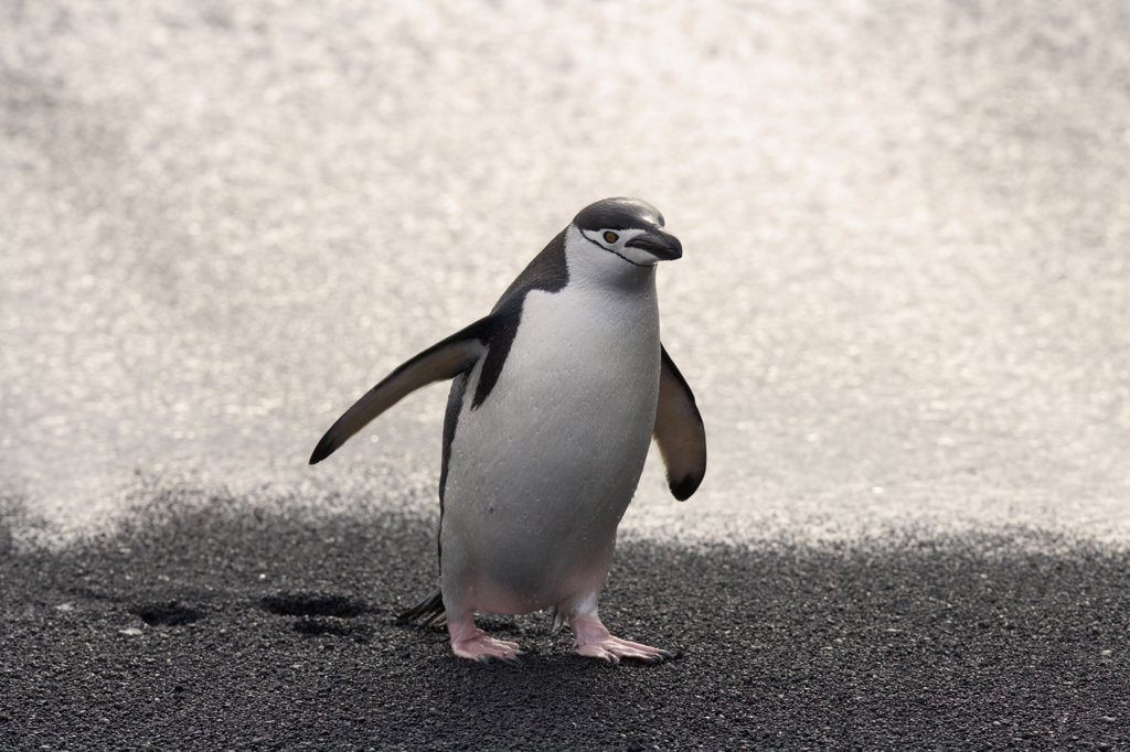 Stock Photo: 4070-6889 Chinstrap Penguins (Pygoscelis antarctica), adult exiting the sea. Deception Island, Antarctica.