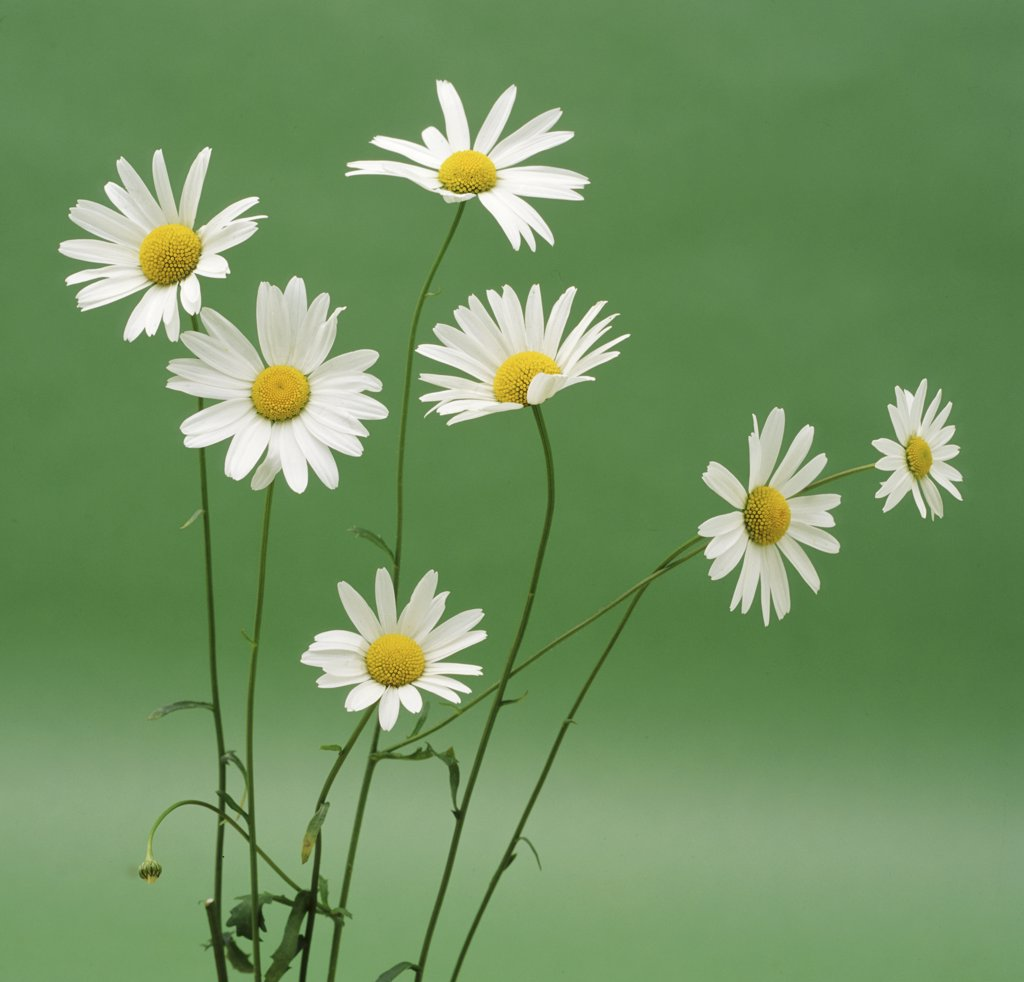 Stock Photo: 4070-6907 Marguerite / Ox-eye Daisy flowers {Leucanthemum vulgare} UK