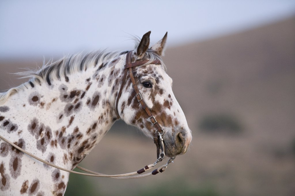 Leopard Aloosa Horses Best 2017