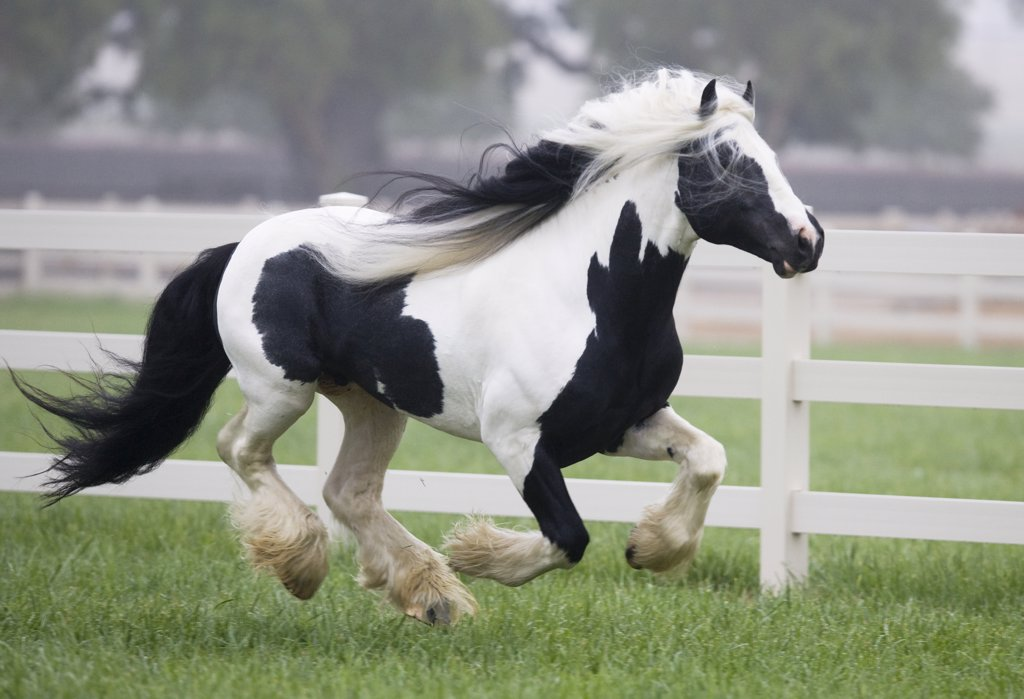 Gypsy Vanner stallion running in paddock, Ojai, California, USA : Stock Photo
