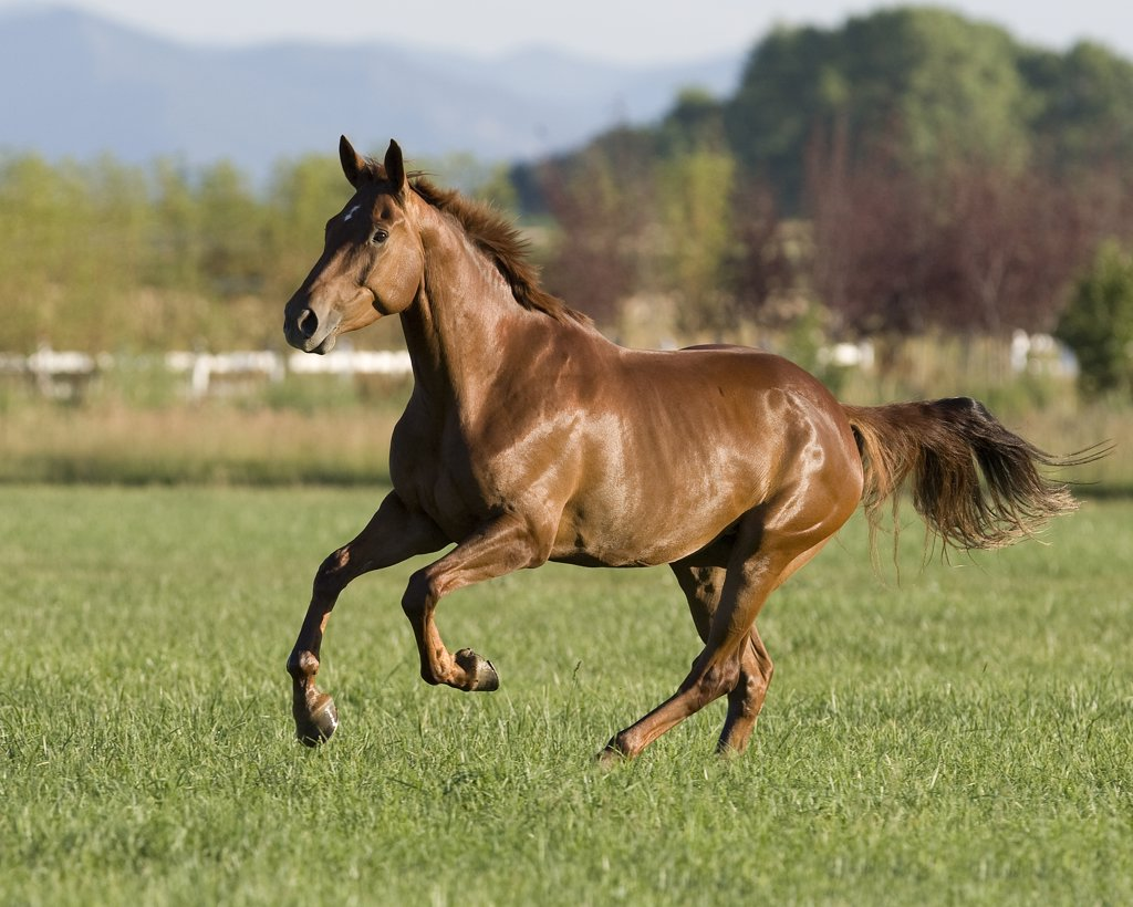 Stock Photo: 4070-7083 Chestnut mare running in paddock, Longmont, Colorado, USA