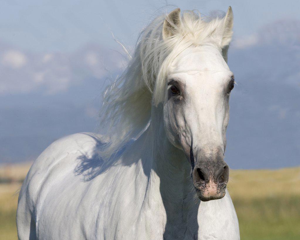 Grey Andalusian stallion portrait, Longmont, Colorado, USA : Stock Photo