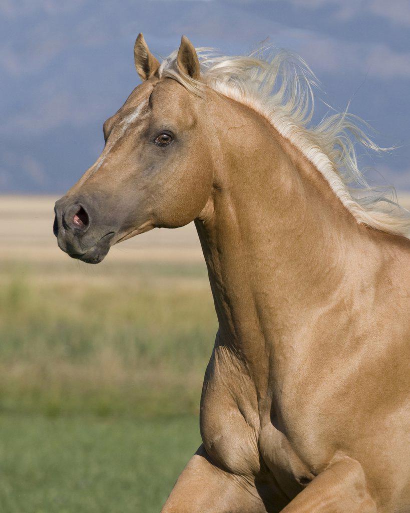 Stock Photo: 4070-7102 Palomino stallion running, Longmont, Colorado, USA