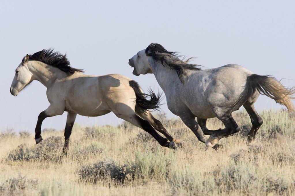 Wild horse / mustang, ...