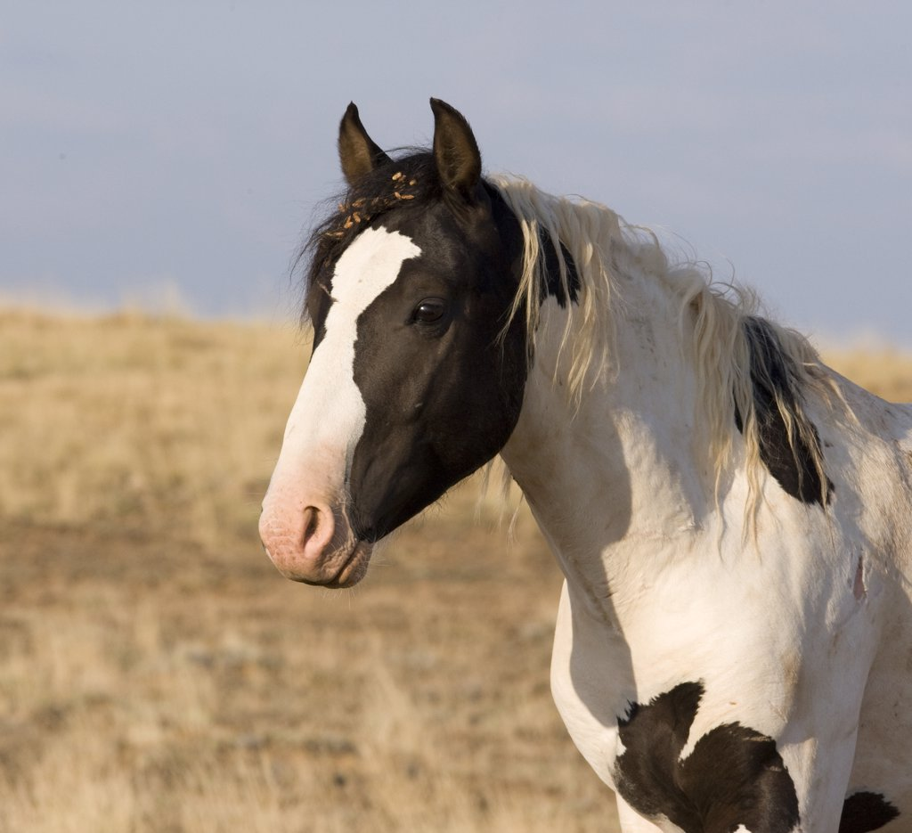 Stock Photo: 4070-7164 Wild horse / mustang, black pinto colt, McCullough Peaks, Wyoming, USA