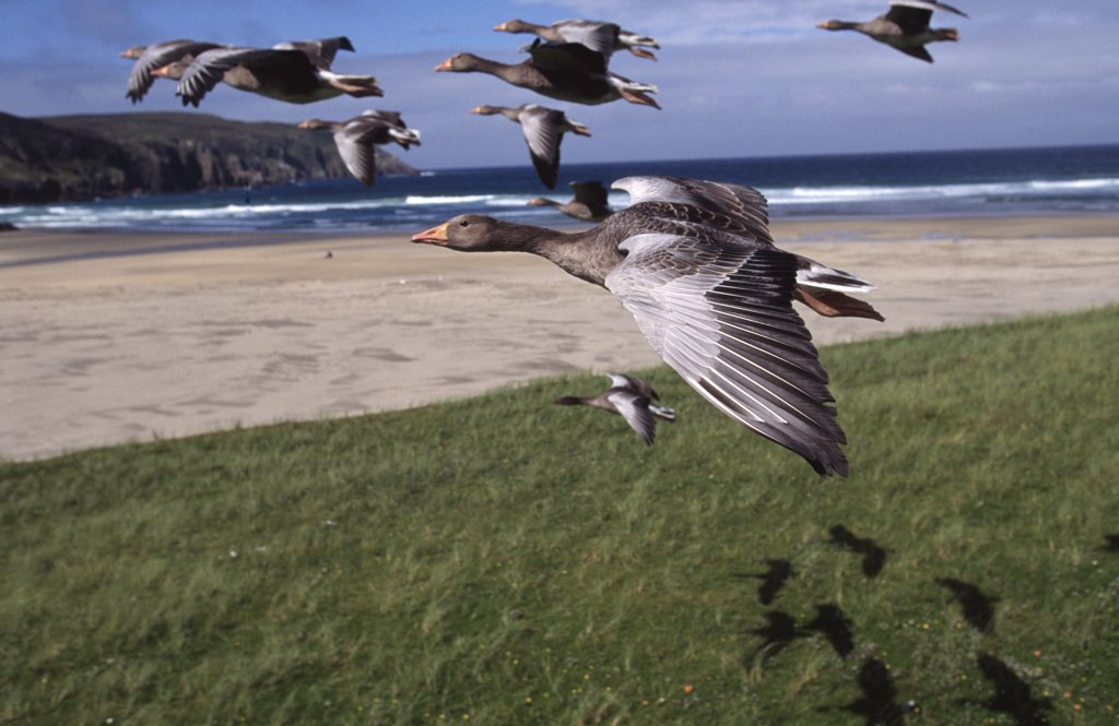 Flock of Greylag geese in flight {Anser anser} imprinted flock, part of programme filming for BBC series : Stock Photo