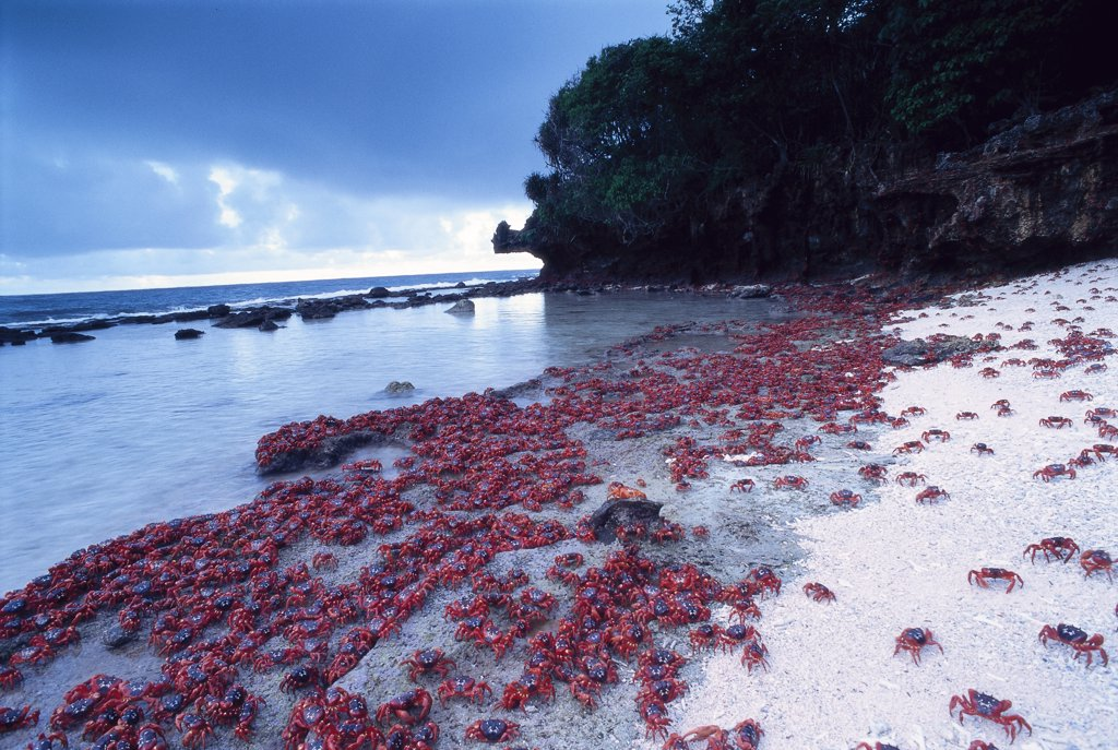 Stock Photo: 4070-9056 Adult Christmas island red crabs entering sea for short while to replenish body salts and moisture before reproduction {Gecarcoidea natalis} Christmas island, Pacific.