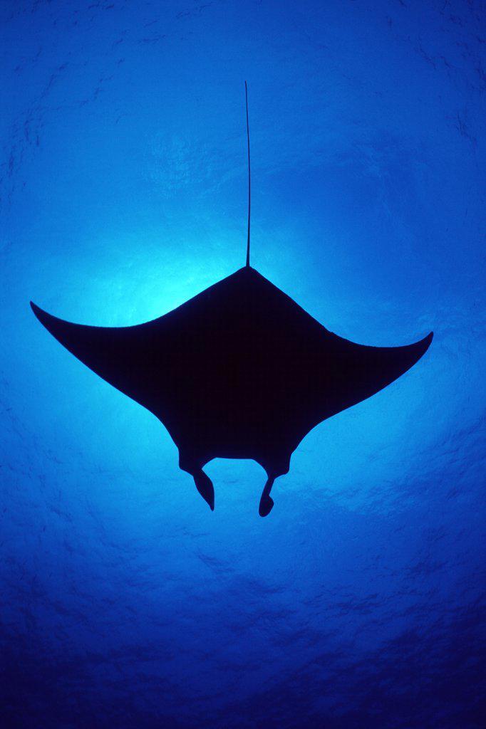Stock Photo: 4070-9098 Silhouette of Atlantic Manta ray {Manta birostris} Little Cayman Island, Caribbean Sea