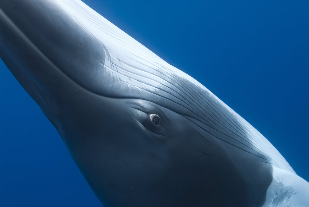 Dwarf minke whale {Balaenoptera acutorostrata} close up abstract showing eye, Queensland, Australia : Stock Photo