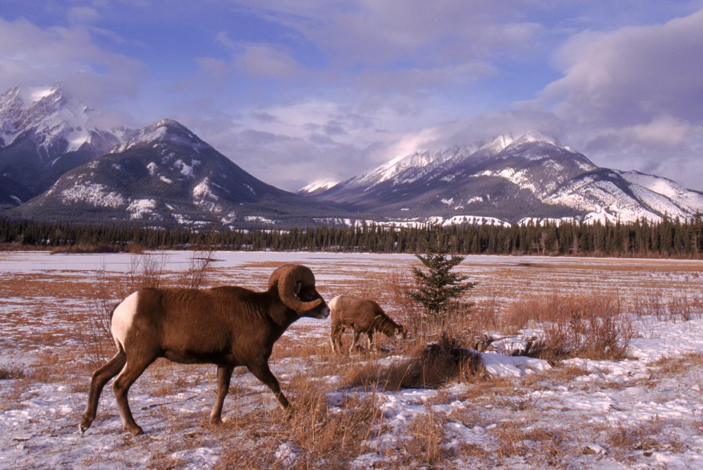 Stock Photo: 4070R-8101 Rocky Mountain Bighorn sheep ram Jasper NP Alberta Canada