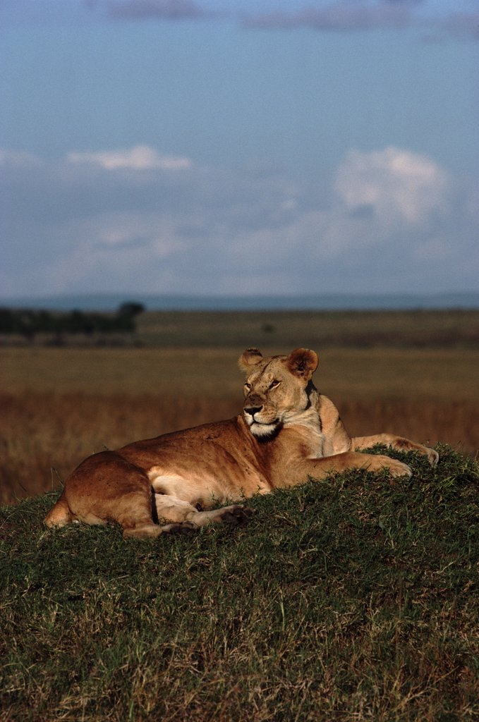 Stock Photo: 4070R-8202 Lioness lying on termite mound, Masai Mara, Kenya, Africa