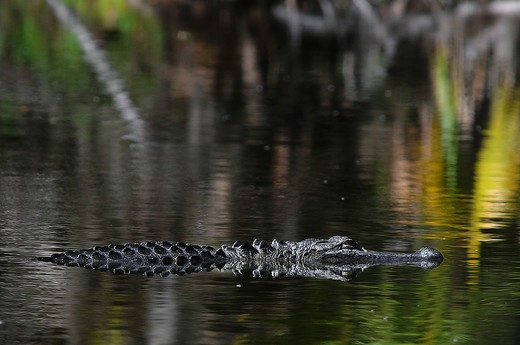 Stock Photo: 4076-225 American alligator (Alligator mississippiensis) swimming in a lake, Florida, USA