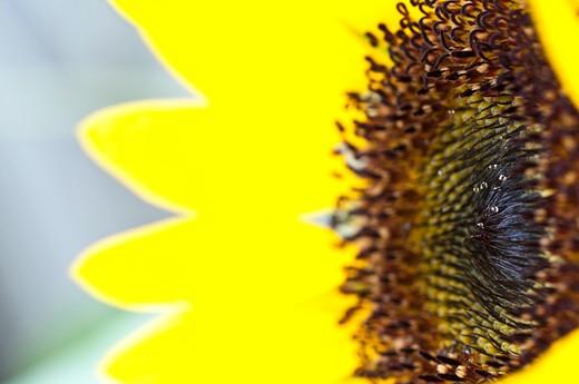USA, Florida, Jacksonville, Close-up of sunflower : Stock Photo