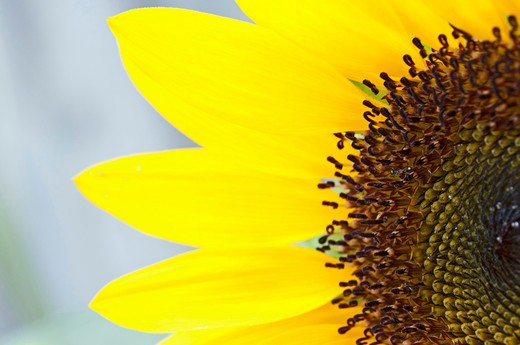 Stock Photo: 4076R-395 USA, Florida, Jacksonville, Close-up of sunflower