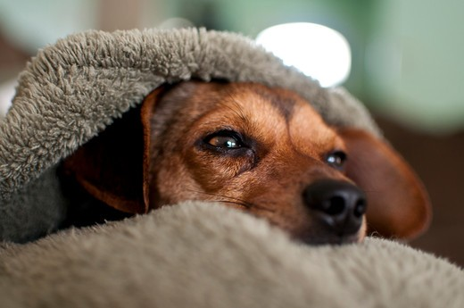 Close-up of Chihuahua lying under blanket : Stock Photo