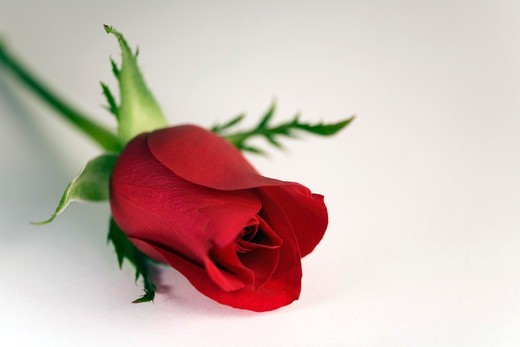 Red Rose, Close-Up : Stock Photo