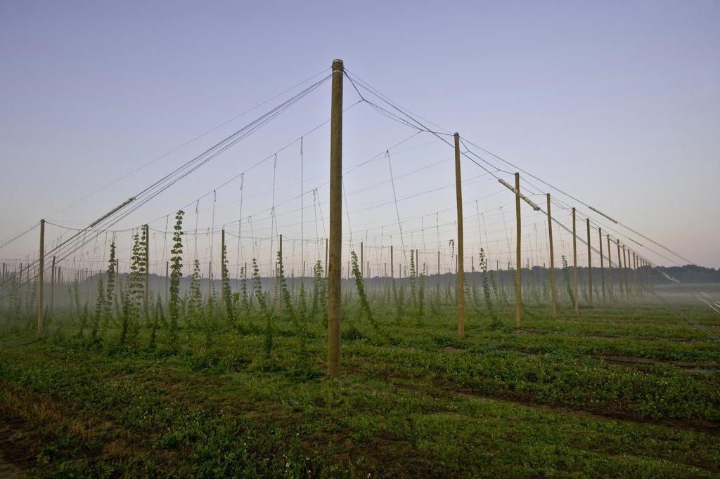 Hops farming, Michigan, USA : Stock Photo