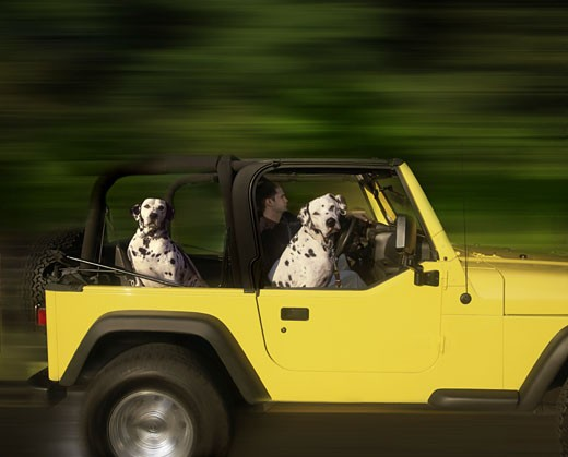 Two Dalmation dogs riding in 2005 yellow Jeep Wrangler with man driving. : Stock Photo