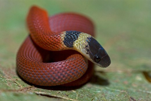 A red coffee snake sits coiled on the ground. : Stock Photo