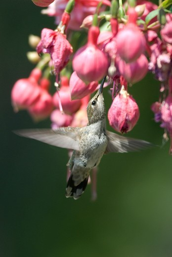 A hummingbird stretches its neck to feed on fuchsia flowers. : Stock Photo