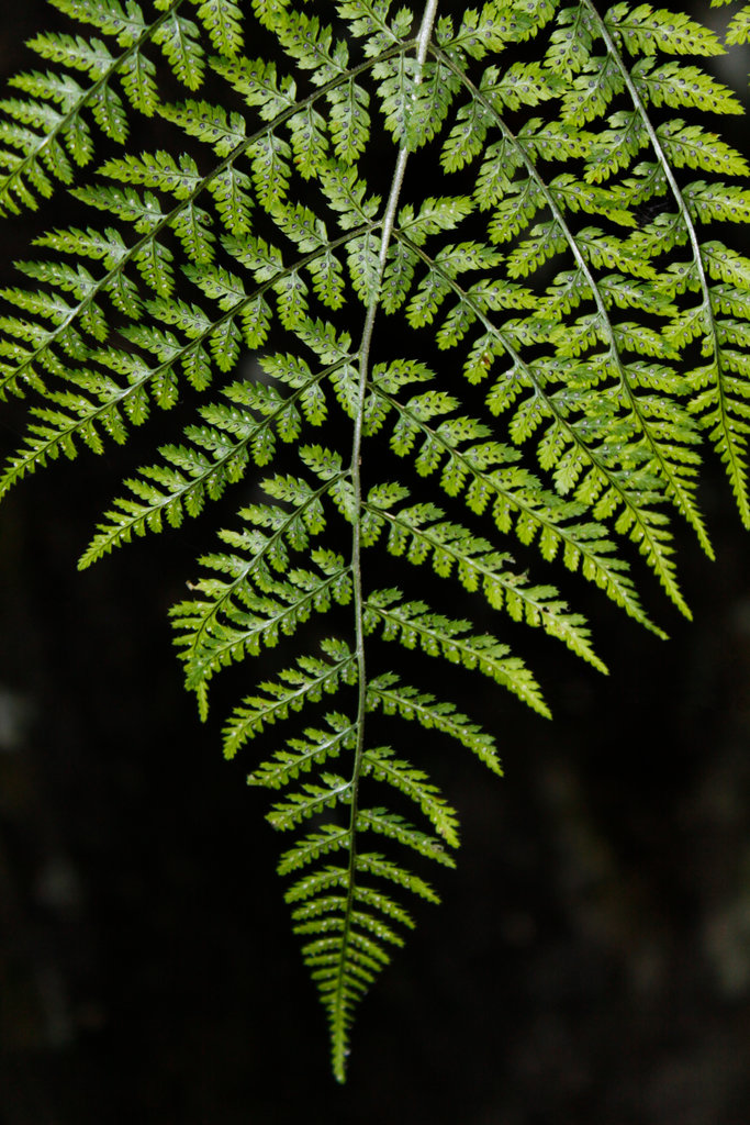 Close-up of leaf of a wild fern, Dismals Canyon, Franklin County, Alabama, USA : Stock Photo