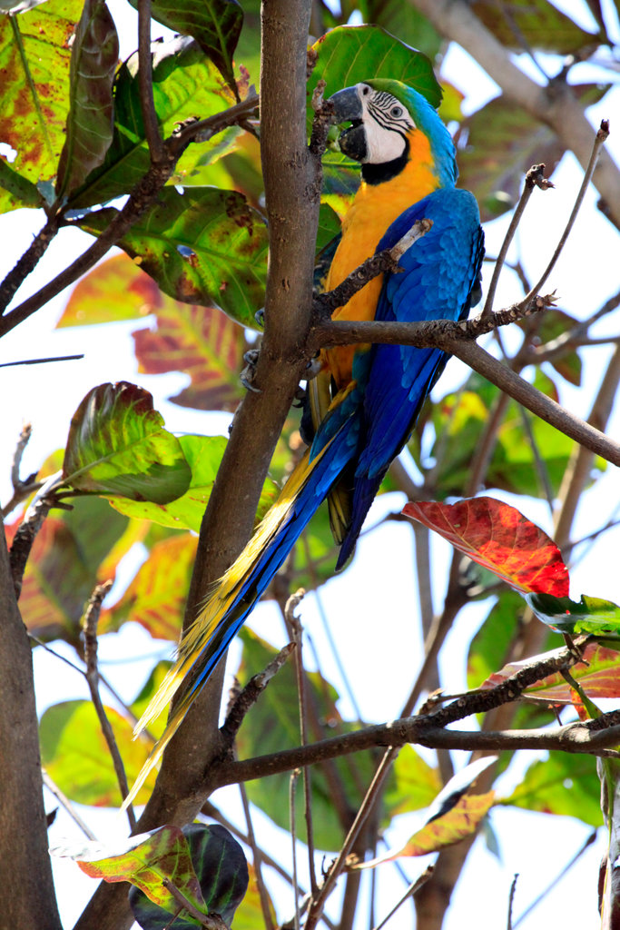 Brazil, Campo Grande, Mato Grosso do Sul, Blue-and-Yellow Macaw (Ara ararauna) searching for food in tree : Stock Photo